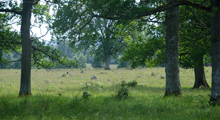 A meadow with scattered oak trees