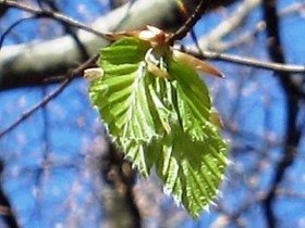 fresh sprung beech leaves
